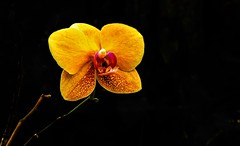Yellow orchid... (Pedro1742) Tags: flower orchid yellow blackbackground