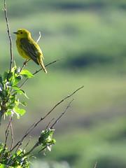 Yellow Warbler (Sunsades) Tags: sx50 canon yellowwarbler datejune15 2019locationsomewhereinthemiddleonnome alaska