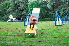 Agility (simonadam_ph) Tags: england dog agility spaniel grass pet
