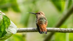 Allen's Hummingbird (20190803-DSC09871) (Michael.Lee.Pics.NYC) Tags: sanfrancisco goldengatepark botanicalgarden hummingbird bird allenshummingbird bokeh sony a6500 fe100400mmgm 14xtc