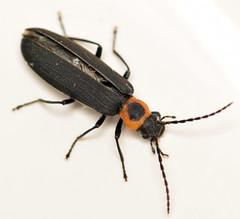 9.8 mm false blister beetle (ophis) Tags: coleoptera polyphaga cucujiformia tenebrionoidea oedemeridae oedemerinae asclerini asclera asclerapuncticollis falseblisterbeetle