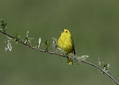 Yellow Warbler (Tomingramphotography.com) Tags: yellowwarbler warbler migration bird wildlife wildlifephotography michigan nikln