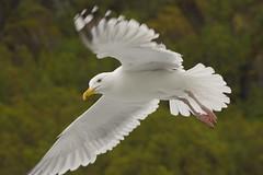 European herring gull - Larus argentatus (Svein K. Bertheussen) Tags: gråmåke europeanherringgull gull måke raftsundet nordland norge norway natur nature bird fugl wildlife dyreliv fugleliv birdlife