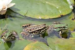 Pool Frogs (Pelophylax lessonae) on lily pads (willjatkins) Tags: animal nature wildlife wildlifeofeurope europeanwildlife amphibians amphibian amphibiansofeurope europeanamphibians frog frogs frogsandtoads frogsofeurope europeanfrogs poolfrog pelophylax pelophylaxlessonae greenfrog waterfrog waterfrogs britishwildlife britishamphibiansandreptiles britishreptilesandamphibians britishamphibians britishfrogs ukwildlife ukreptilesandamphibians ukamphibiansandreptiles ukamphibians ukfrogs nonnativespecies nonnativewildlife nonnativeamphibians alienspecies alienwildlife alienamphibians nikond610 nikon sigma105mm closeupwildlife closeup pondlife