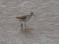 Wood Sandpiper (kc02photos) Tags: woodsandpiper trinaglareola titchwell norfolk england uk birdphotography