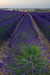 Campos de lavanda 🌾 (pascual 53) Tags: canon 1635mm camposdelavanda eos5ds colores lee ocaso olite navarra aromas largaexpo lucroit