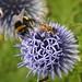 Bees on globe thistle.