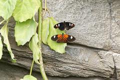 Tropical butterflies inside the tropical house . (Annette Rumbelow) Tags: tropicalbutterflies annetterumbelowwilson marwellzoo tropicalhouse