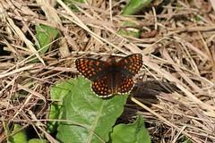 Melitaea diamina - False heath fritillary - Woudparelmoervlinder (Bad Hindelang, Germany) (Christian van de Ven) Tags: vlinder butterfly schmetterling mariposa papillon fritillary parelmoervlinder