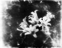Naked Ladies in the Garden (Larry Buechler) Tags: 4x5glassplate largeformat crowngraphic flowers nakedladies amaryllisbelladonna gardening garden schneiderkreuznach jlanedryplates