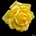 Yellow  rose - Rose jaune