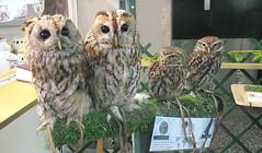 Cuddles,Koko,Star and Thor (billnbenj) Tags: barrow cumbria owl tawnyowl littleowl raptor birdofprey