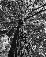 Sequoia BW (PhrozenTime/WAHLBRINKPhoto) Tags: biology plant tree conifer evergreen pine sequoiadendrongiganteum sequoia baindebretagne illeetvilaine35 france