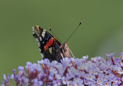 Red-Admiral (Stan Parrott) Tags: redadmiral