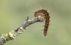 Small Eggar larva (Eriogaster lanestris). (Bob Eade) Tags: moths smalleggar immaturestages immature caterpillar eggar macro macromoths lepidoptera eastsussex sussex seaford southdownsnationalpark downland