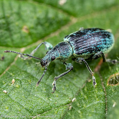 Weevil - Phyllobius pomaceus (Tubs McHam) Tags: yongnuo matthewpaullewis tubsmcham macro yn24ex mpe65 phyllobiuspomaceus coleoptera yongnuoyn24ex weevil canon canon6d nature dof