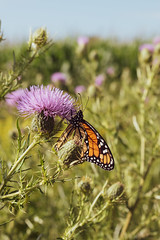 A late summer royal visit (KPalette) Tags: butterfly monarch nature thistle green purple