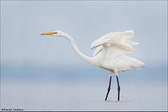 Great Egret Stretch. (Daniel Cadieux) Tags: egret greategret heron whitebird stretch wingstretch ottawariver ottawa wader