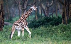 Giraffe - Giraffa camelopardia - Giraffe (cradenborg) Tags: c cceradenborg 2019 africa artiodactyla evenhoevigen giraffacamelopardalisrothschildi giraffe giraffidae kenia kenya mammalia nakurunp nature openbaar public rothschildgiraffe safari wildlife mammals