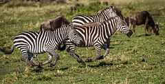 KENYAN PLAINS ZEBRA: (John C. Bruckman @ Innereye Photography) Tags: plainszebra kenya maasaimara defensivemethods predators stripes camouflage serengeti tanzania coth5