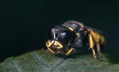 square-headed wasp (joolz70) Tags: macro nature insect bug yellow black eyes wasp