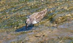 White-rumped Sandpiper #1 (Kaptured by Kala) Tags: whiterocklake dallastexas upperspillway migratingbird migration raresighting uncommon closeup peep shorebird sandpiper whiterumpedsandpiper aquaticbird aquatic waterfowl feeding