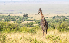 Giraffe - Giraffa camelopardia - Giraffe (cradenborg) Tags: c cceradenborg 2019 africa artiodactyla evenhoevigen giraffacamelopardalis giraffe giraffidae kenia kenya mammalia masaimaranp nature openbaar public safari wildlife mammals