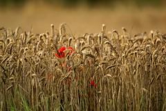 Wheat (Jaedde & Sis) Tags: hvede wheat field farming seed stokkeby challengeyouwinner