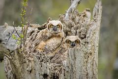 Twins (SixRiversRLC) Tags: nature spring greathornedowl burton michigan