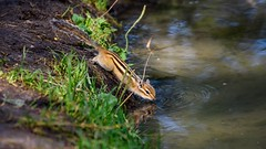 Chipmunk at a watering place. / Бурундук на водопое. (Nitohap) Tags: бурундук озеро лес отдых жажда трава природа животные лето chipmunk lake forest rest thirst grass nature animals summer d850 200500