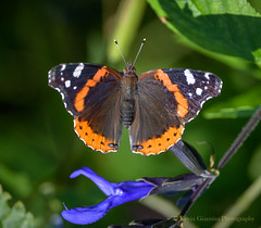 Red Admiral (Kevin James54) Tags: nikon500mmpff56 nikond850 redadmiral vanessaatalanta wilmington animals butterfly kevingianniniphotocom