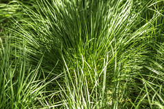 Coastal Grass 1 (Mabry Campbell) Tags: europe gothenburg göteborg storaamundön grass green image intimatelandscape nature photo photograph texture f35 mabrycampbell july 2019 july162019 20190716campbellh6a1203 100mm ¹⁄₁₆₀sec 100 ef100mmf28lmacroisusm