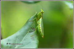 9035 - praying mantis (chandrasekaran a 64 lakhs views Thanks to all.) Tags: prayingmantis mantis juv india nature chennai tamronef28300mm
