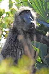Baboon - Bärenpavian (naturgucker.de) Tags: ngid1817627297 papioursinus bärenpavian