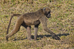 Bärenpavian (naturgucker.de) Tags: ngidn334608172 papioursinus bärenpavian