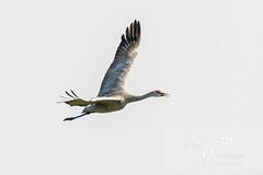 Sandhill Crane (Jeff Higgott (Sequella.co.uk)) Tags: jeffhiggott jeffhiggottphotography sequella suffolk bird rarity rare american