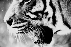 _DSF4488 (carlo612001) Tags: tiger bnw bigfive cat cats kitten blackandwhite animals nature monochrome closeup