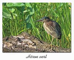 Héron vert / Green Heron 153A2403 (salmo52) Tags: oiseaux birds salmo52 alaincharette héronvert greenheron victoriaville parcdejeunes échassier butoridesvirescens pélécaniformes ardéidés ardeidae butoridés