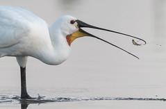 Spatule blanche (Platalea leucorodia) (kingfisher001) Tags: spatuleblanche pélécaniformes platalealeucorodia eurasianspoonbill échassier threskiornithidés pêche poisson