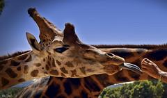 La super lengua (chelocatala) Tags: jirafa lengua mano