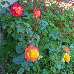 Love and Peace (Dave In Oregon) Tags: lovepeace rose blooms flowers oregon rainieroregon summer