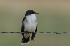 Eastern Kingbird (Hammerchewer) Tags: easternkingbird bird wildlife outdoor