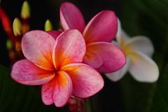 Destiny (Steenjep) Tags: blomst flower macro makro closeup destiny plumeria frangipani have garden terasse