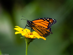The landing pad (kamoloney) Tags: flower composite insect monarch delicate buttefly