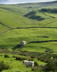 Sheep's view (paul indigo) Tags: england malham paulindigo tarn yorkshire barn beck colour dales drystonewall field hill landscape river sheep stone stream travel