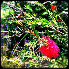 Bottlebrush Bokeh (Julie (thanks for 9 million views)) Tags: 100xthe2019edition 100x2019 image75100 hipstamaticapp iphonese callistemon bottlebrush plant flower squareformat bokeh hbw wexford ireland irish