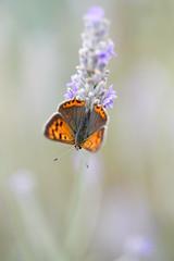 Cuivré commun (Glc PHOTOs) Tags: glc7718 cuivré commun nikon d850 tamron 90mm f28 macro papillon butterfly sp