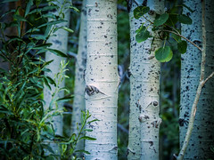 Aspen Trunks 1 (oldhiker111) Tags: aspens laketahoe green tree