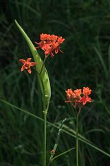 Asclepias lanceolata (Few-flowered Milkweed) (jimf_29605) Tags: asclepiaslanceolata fewfloweredmilkweed wildflowers francismarionnationalforest berkeleycounty southcarolina sony a7rii 90mm