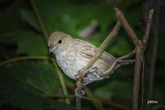 Indigo Bunting (jt893x) Tags: 150600mm bird bunting d500 female indigobunting jt893x nikon nikond500 passerinacyanea sigma sigma150600mmf563dgoshsms songbird